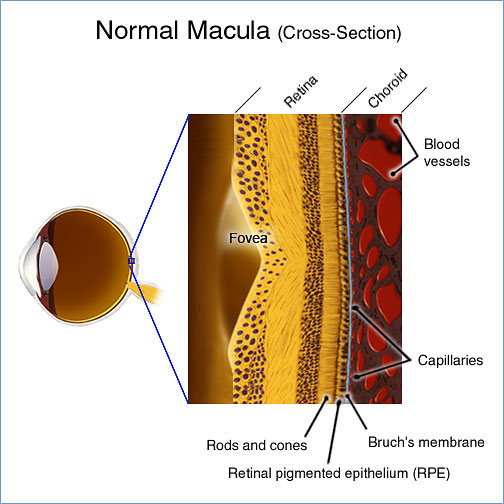 Foundation Cross Section Cross-section of Retina